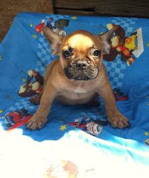 SASQUATCH: $2495 after $300 neuter binder rebate, AKC French Bulldog, male, born 4-17-15 to Blue Spice and Geronimo, pics on 5-15-15, 2 yr health, vet puppy wellness exam, microchip, OPC canine care recommendations, more