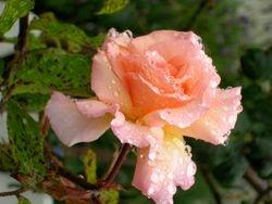 Rose in Devonport, Auckland, New Zealand