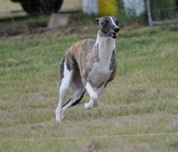 Take Off Lure Coursing