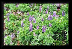 Alpine Meadow - Lupines