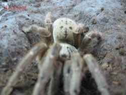Pterinochilus.lurgardi female 3