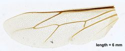 Hind wing