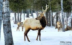 Elk - Timmins