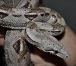 Caulker Cay Boa Constrictor