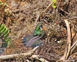 Female Purple-throated Mountain-gem at rest