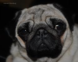 Snowpug`s Baroness Marie of Victory 19.02.2010