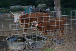 Mini Hereford mom and previous bull calf