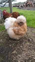 Buff Calico Pullet