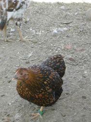 One of the pullets
