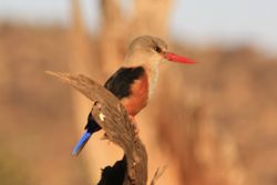 Bird - Samburu Game Reserve