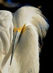 Snuggled-Down Egret by Judy Lathrop (HM)