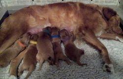 Ashes nursing puppies