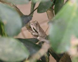 White Tree Frog