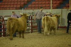 More Senior Heifers