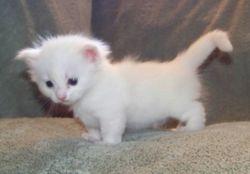 Uki's white blue-eyed girl, shorthair