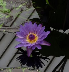 Nymphaea in bloom