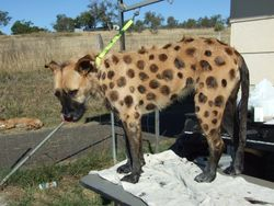 Hyena during setting stage