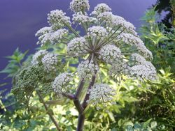 Angelica flower umbel