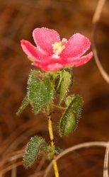 Flor do cerrado