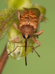 Hazelnut weevil