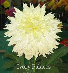 Ivory Palaces AA ID Yellow