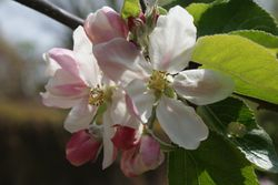 Early Spring - Apple Blossom