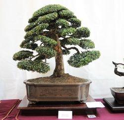 Olmo Chino (Ulmus Parvifolia)