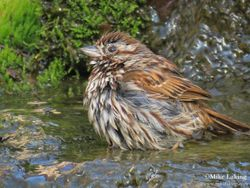 Sparrow Bathing #1