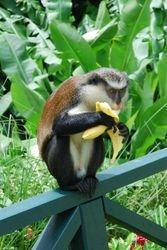 A Mona Monkey
