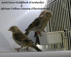 European Goldfinch x African yellow canary