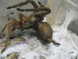 Pterinochilous chordatus