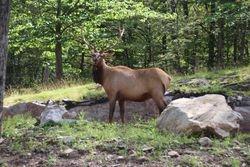 Wapiti (elk) at Parc Omega, Montebello