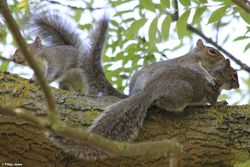 Juvenile Grey Squirrel's