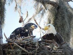 Bald Eagle Sr and Jr