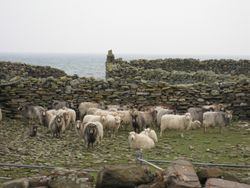 Sheep in the Pund