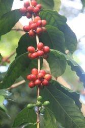 Coffee beans at Kona Coffee Plantation