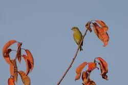 European Greenfinch (Verdier d'Europe)