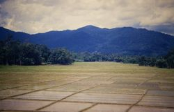 288 Rice fields Northern Malaysia