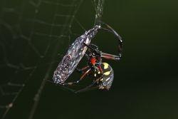 Aranha predando borboleta
