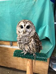 "Our Resident Barred Owl ""Artemis"""
