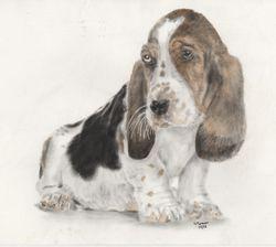 Bassett puppy