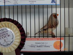 Champion Open Cock