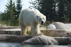 Polar bear in Cochrane