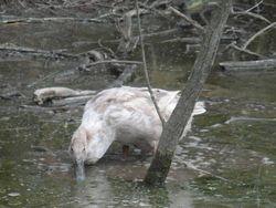 April 14  Mixed Duck