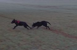 Jetta chasing me on the foggy fields