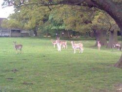Deer At Ripley castle