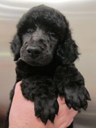 Niall after his first full grooming.  6 weeks old.