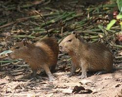 Young Capybaras