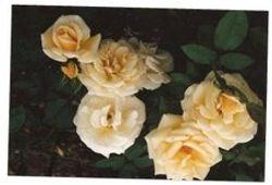 gwen broadley rose