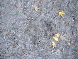 Florida Bigfoot footprint